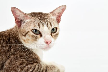 Portrait of a surprised American Short hair cat lying on white background isolated Stock Photo