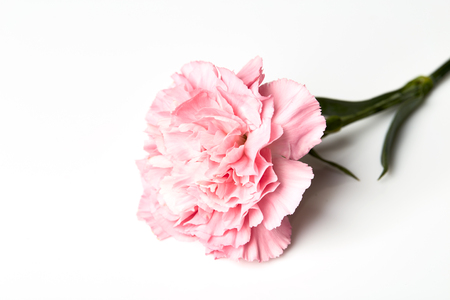 Pink carnation flower isolated on white background stock photo pink carnation flower isolated on white background stock photo 87815094 mightylinksfo