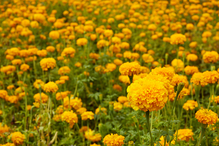 Lots of beautiful marigold flowers in the garden