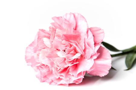 白い背景に分離された美しいピンクのカーネーションの花 写真素材