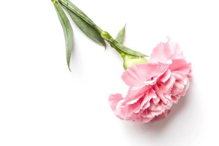 beautiful pink carnation flower isolated on white background