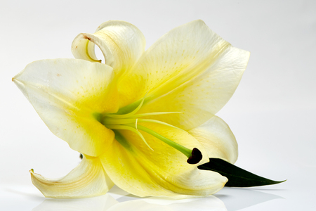 White lily flower closeup isolated on white Stock Photo