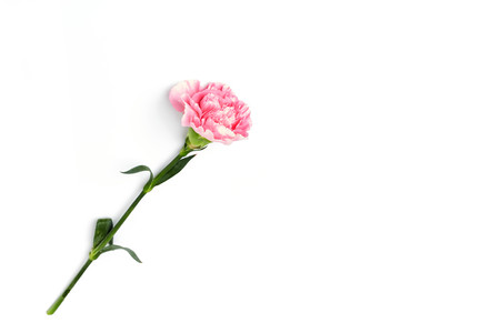 beautiful pink carnation flower isolated on white background Zdjęcie Seryjne - 87998523