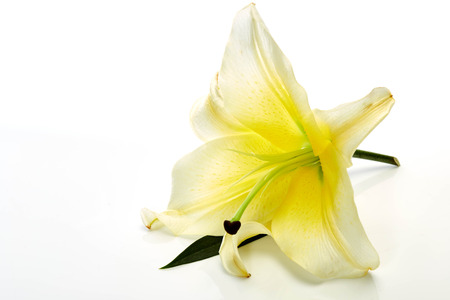 White lily flower closeup isolated on white