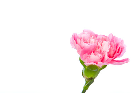 Single pink Carnation standing erect on white background