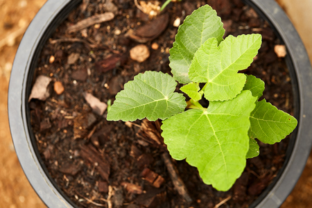 gran canaria: Romantic green fig-tree leaves with branch Stock Photo