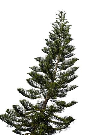 spruce tree isolated on white. christmas tree