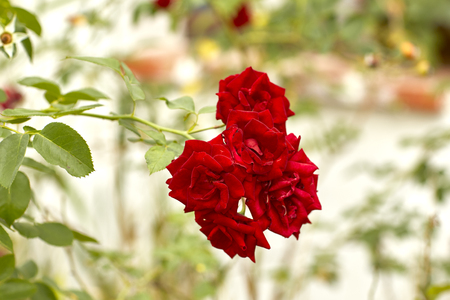 beautiful velvety red fully blown hybrid tea roses blooming Stock Photo