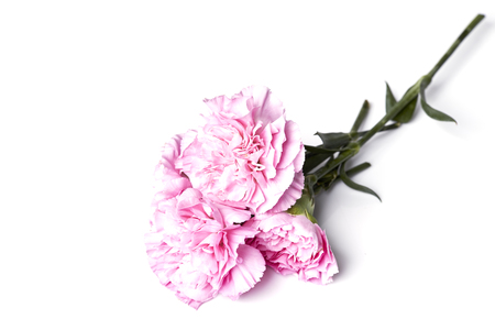 pink is carnation against the white background