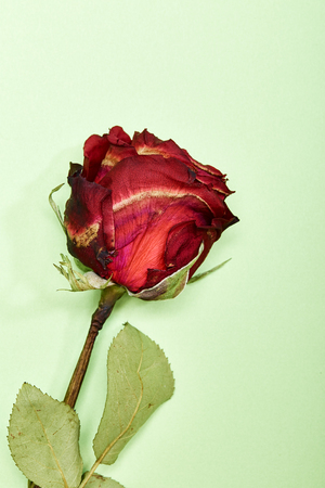 Dried Red Rose on green Background, minimal valentine Concept Stock Photo