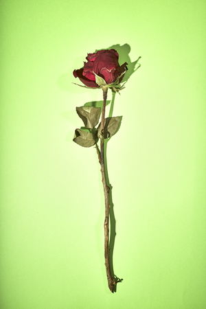 Dried Red Rose Shadow on green Background, minimal valentine Concept Stock Photo
