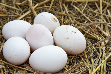 chemical free white chicken eggs in a nest from dry grass, Healthy Food Concept, minimal idea food   Stock Photo