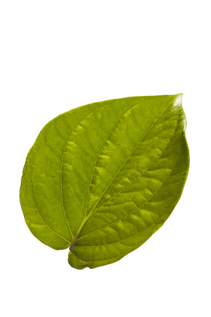 betel leaf tropical leaves on white background