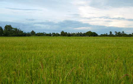 Rice field green grass blue sky cloud cloudy in Thailand,landscape Stock Photo