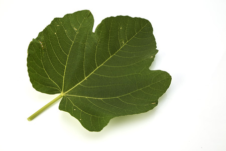 Weihai fig, fig leaf isolated on a white background