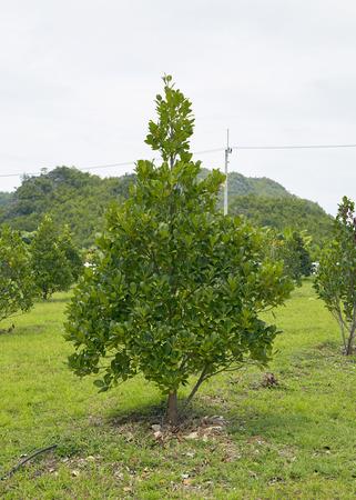 The jackfruit farm in the farm of Backyard of the Thais