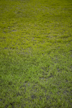 Soft focus green grass background texture with empty space for copy or text