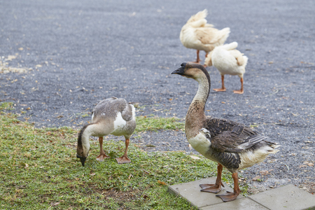 goose standing on green grassมgeese breeding and ecological healthy meat and feather production concept.