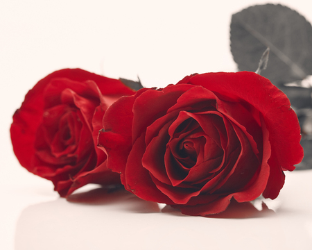 Two red rose on white background, Love and marriage concept, empty space for design