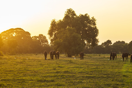 Arabian horses grazing herd on pasture at sundown in orange sunny beams. Dramatic foggy scene Stock Photo