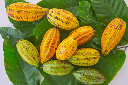 Fresh cocoa fruits with green leaf on white background Reklamní fotografie - 116068557