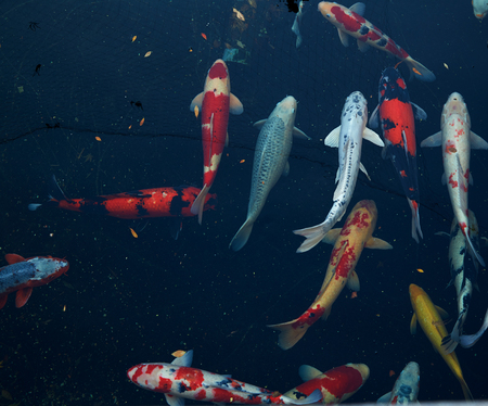 Colorful koi fish Detail of colorful japanese carp fish swimming in pond Stock Photo