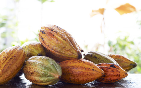 Fresh cacao pods on the table blurred nature backgroung with the morning sun Imagens