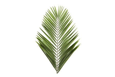 branches de feuilles de palmier vert sur fond blanc. à plat, vue de dessus