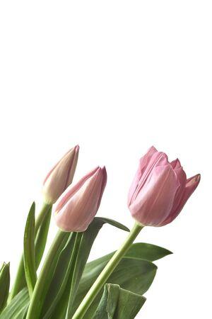 桃红色郁金香花束在白色背景的,拷贝空间。母亲节