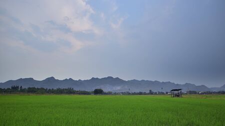 Jasmine rice fields, dry season in the afternoon at Thailand, Water shortage and product prices Banque d'images