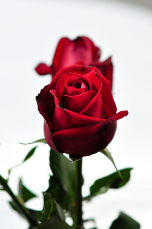 rosoideae: Red roses.