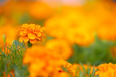 Tagetes patula orange flowers with green nature background with copy space under sunlight, use as wallpaper and natural concept