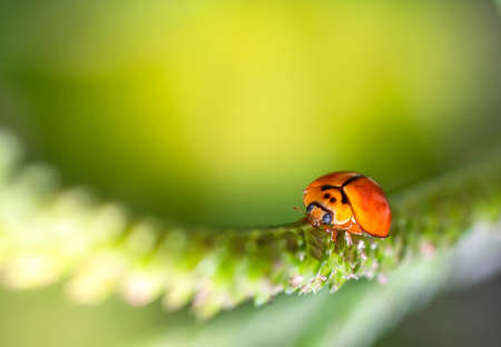 Closed up macro, Beautiful nature of a ladybug on the fresh grass in the morning time (spring or summer season) in Thailand with copy space with blurred background. Insect and refreshment concept Zdjęcie Seryjne