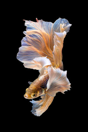 Betta Siamese fighting fish, Rhythmic of betta fish (Halfmoon yellow elephant ear) isolated on black background. Swimming and show an attractive body. Moving and dancing concept.