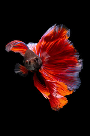 Betta Siamese fighting fish, Rhythmic of betta fish (Halfmoon red and blue) isolated on black background. Swimming and show an attractive body. Moving and dancing concept. Archivio Fotografico