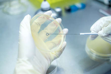 Microbiologist or scientist hand cultivating a Petri dish with inoculation loops in the biohazard hood in the laboratory with blur background. Wearing glove during experiment. Research concept Stock Photo