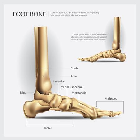 Foot Bone Vector Illustration