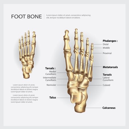 Foot Bone Vector Illustration