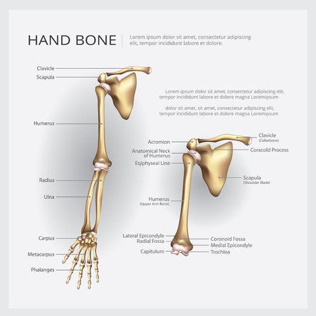 Arm and Hand Bone Vector Illustration