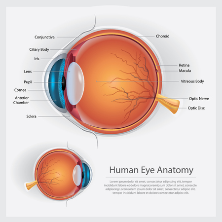 Human Eye Anatomy Vector Illustration Ilustrace