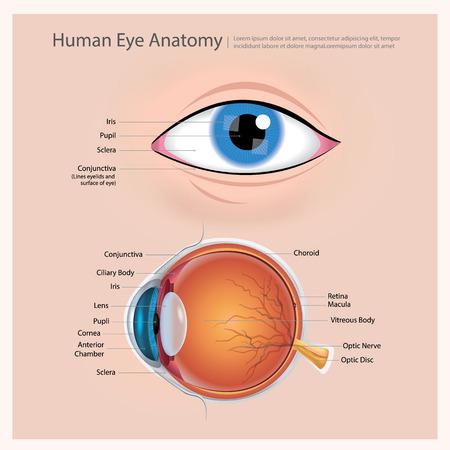 Human Eye Anatomy Vector Illustration Vettoriali