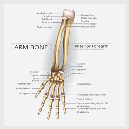 bras et os de main illustration vectorielle
