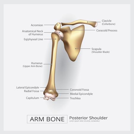Bras de l'épaule Bone Vector Illustration Banque d'images - 88068904
