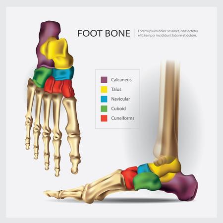 Human Anatomy Foot Bone Vector Illustration