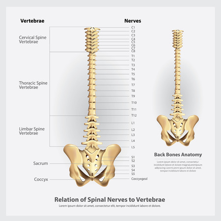 Spinal Nerves and Vertebrae Segments and Roots Vector Illustration