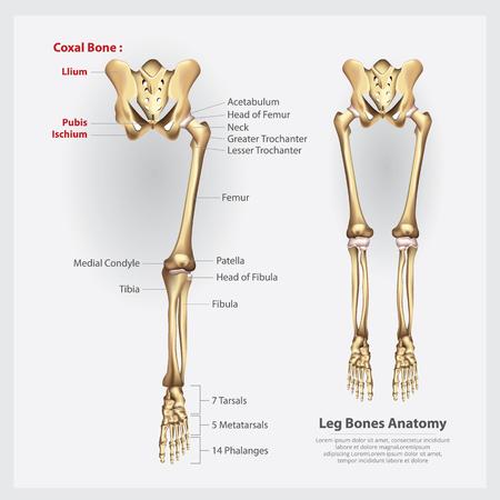 Human Anatomy Leg Bones Vector Illustration Illustration