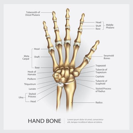 Hand Bone with Detail Vector Illustration Ilustração