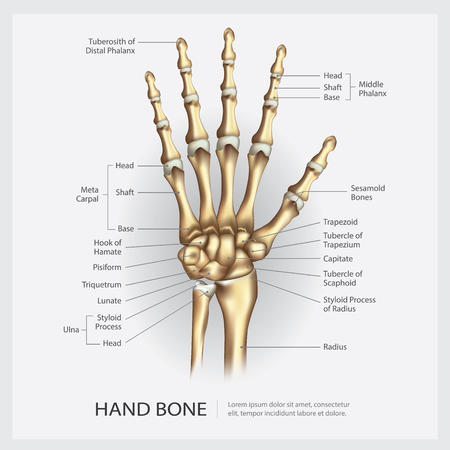 Hand Bone with Detail Vector Illustration Illustration