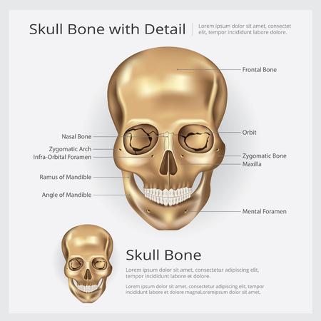Human Bone Skull Anatomy Vector illustration
