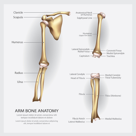Arm Bone Anatomy with Detail Vector Illustration